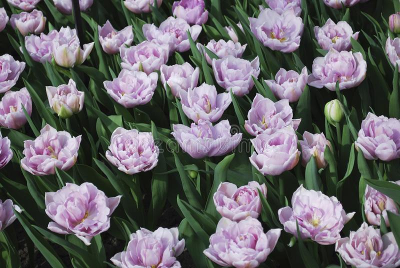 Tulipani Katinka Double Late Group sviluppata nel parco fotografia stock