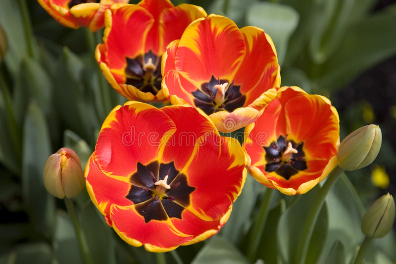 Tulipani luminosi immagine stock