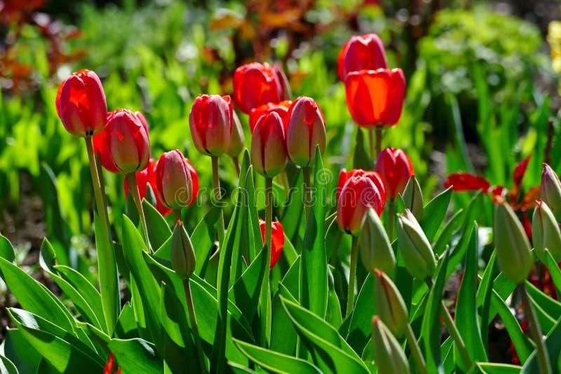 Tulipani luminosi della molla su un letto di fiore immagini stock libere da diritti
