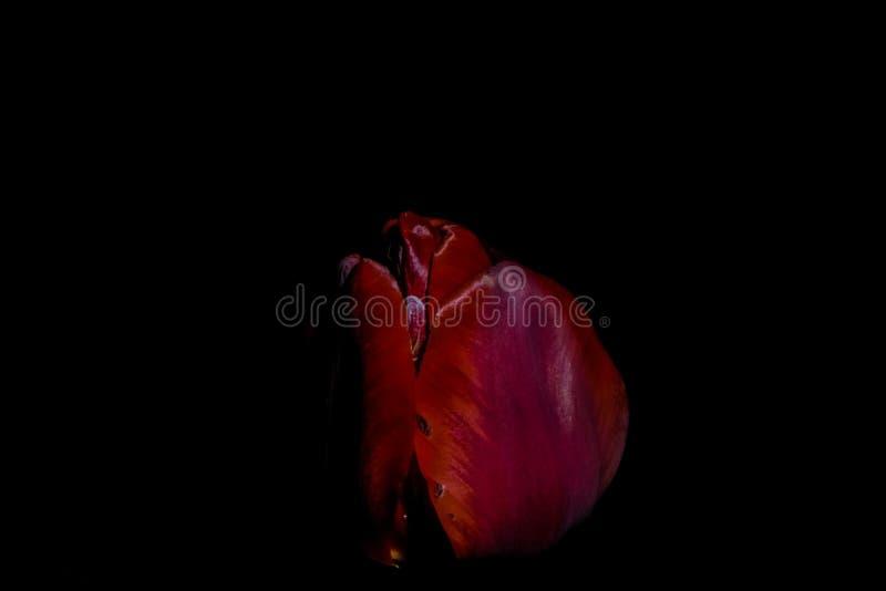 Tulipani luminosi ed insoliti su un fondo nero monofonico Notte che fotografa in un giardino con i fiori fotografia stock libera da diritti