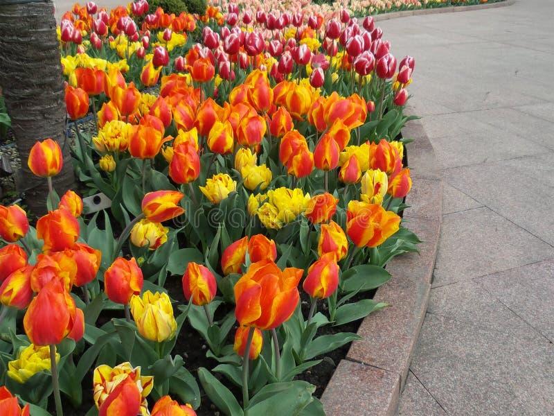Tulipani luminosi nel letto di fiore, abbellente fotografia stock libera da diritti