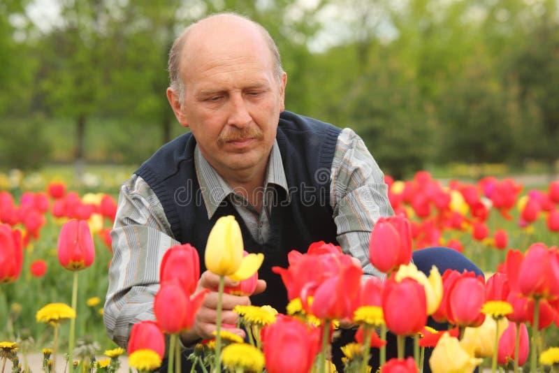 tulipani maturi sboccianti dell'uomo immagine stock libera da diritti