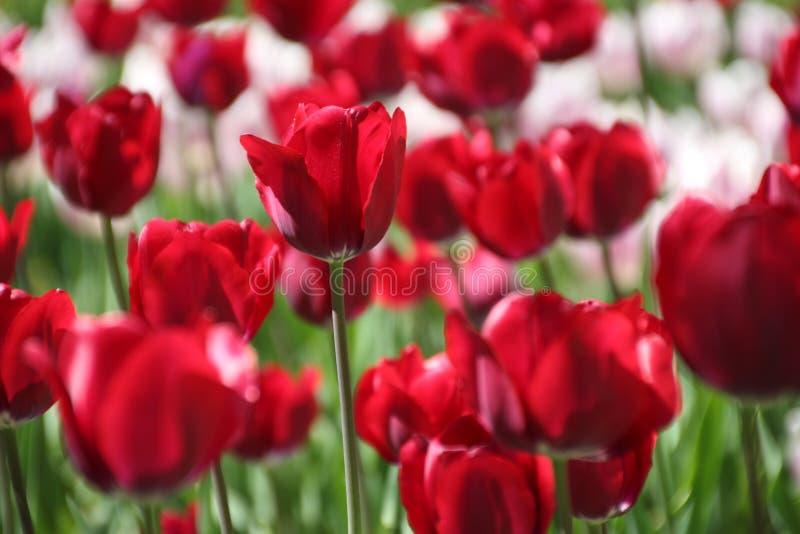 Tulipani in molti colori al sole fotografia stock libera da diritti