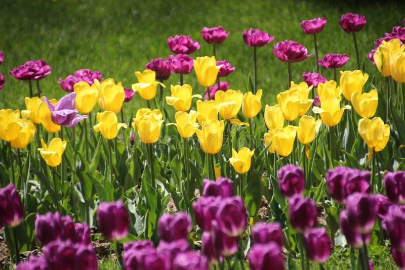 Tulipani in molti colori al sole immagini stock