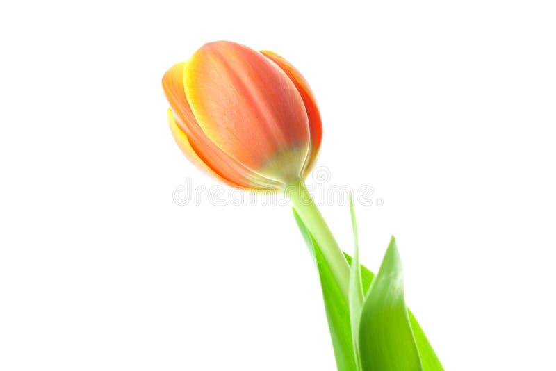 Tulipani multicolori isolati su bianco fotografia stock