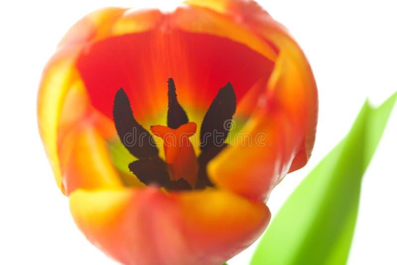 Tulipani multicolori isolati su bianco immagine stock libera da diritti