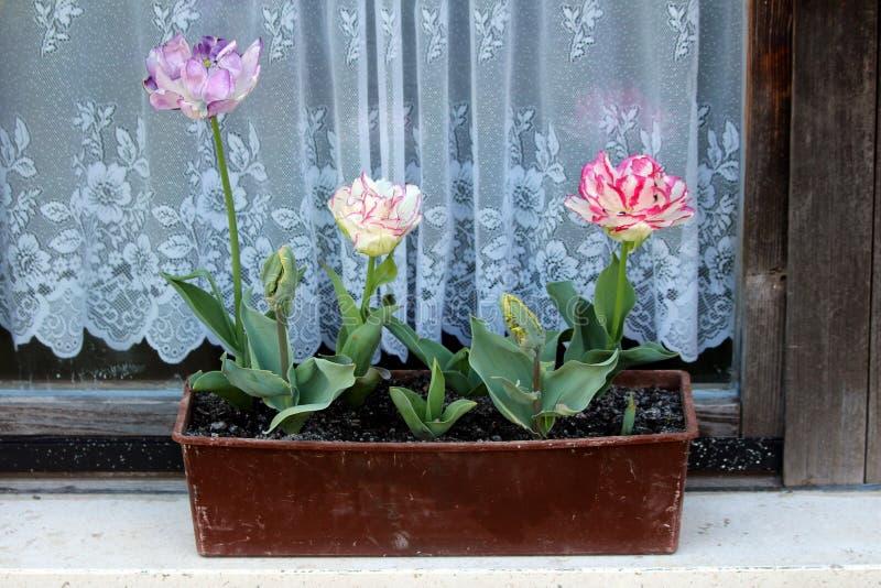 Tulipani multipli con vari i petali colorati chiusi e completamente aperti che variano da bianco al colore rosso e porpora pianta immagini stock libere da diritti