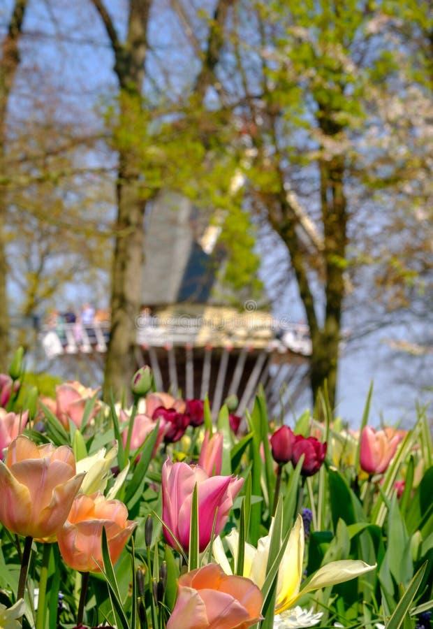 Tulipani nei colori vivi su esposizione ai giardini di Keukenhof, Lisse, l'Olanda Meridionale Mulino a vento nei precedenti, nel  fotografia stock libera da diritti