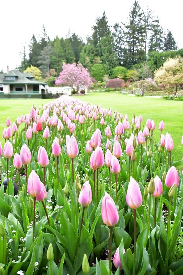 Tulipani nei giardini di Butchart Victoria BC immagini stock libere da diritti