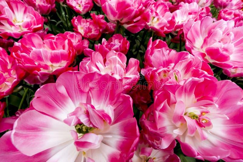 Tulipani nei Paesi Bassi immagine stock