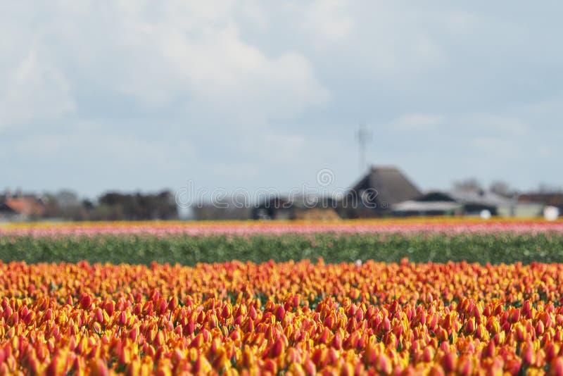 Tulipani nel campo fotografia stock