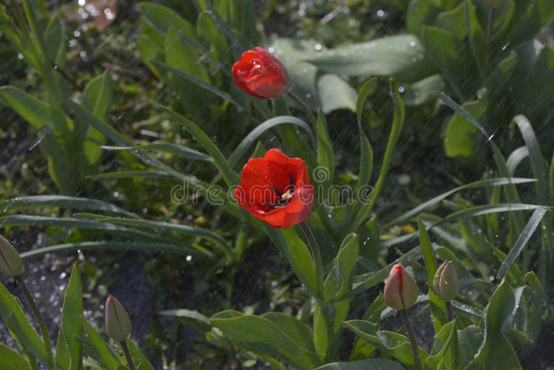 Tulipani nel giardino della sorgente fotografia stock libera da diritti
