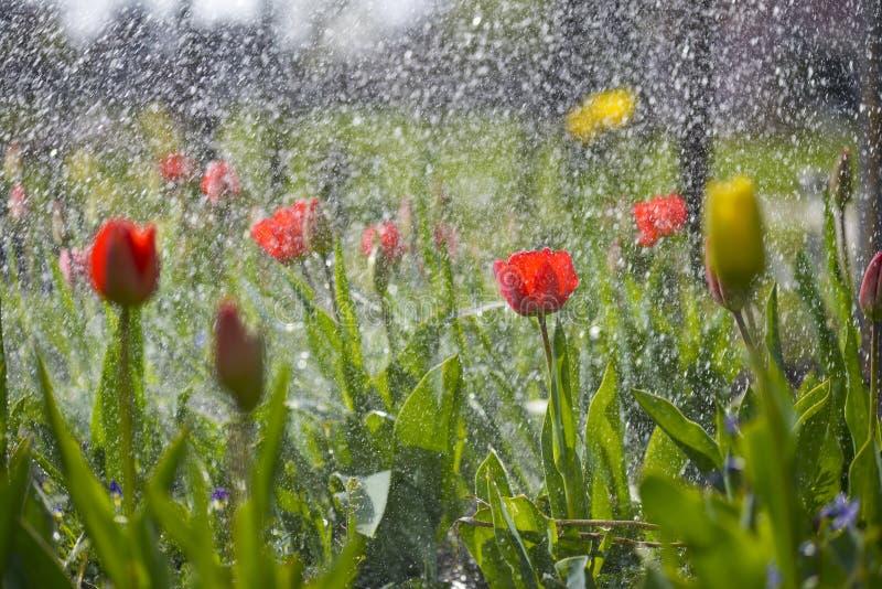 Tulipani nel giardino della sorgente immagini stock libere da diritti