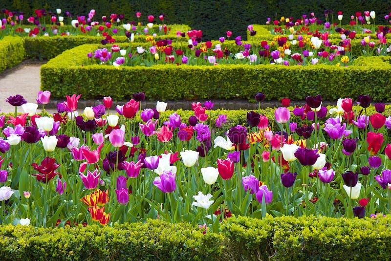 Tulipani nel parco dell'Olanda, Londra fotografia stock libera da diritti