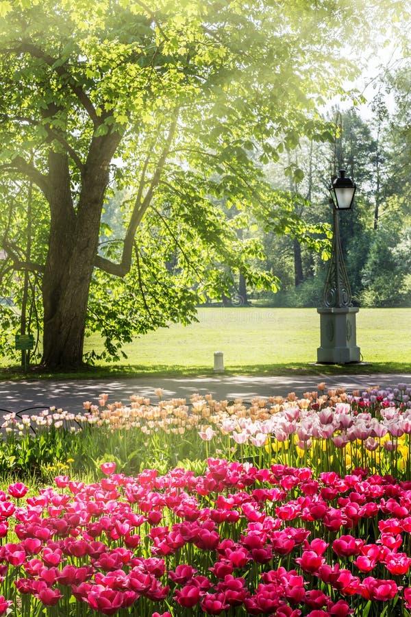 Tulipani nel parco di primavera fotografia stock libera da diritti