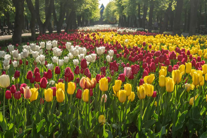 Tulipani nella disposizione dei fiori luminosa con luce solare in parco pubblico Tulipani variopinti nel giardino floreale, arbor immagine stock libera da diritti