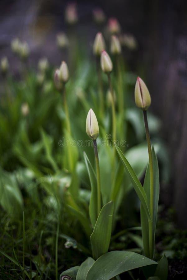 Tulipani nella molla in anticipo immagini stock libere da diritti