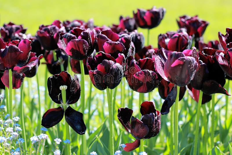 Tulipani neri nel mio giardino immagine stock