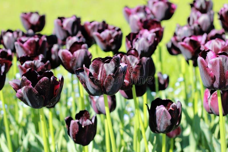 Tulipani neri nel mio giardino fotografia stock libera da diritti