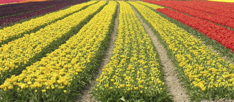 Tulipani olandesi immagine stock