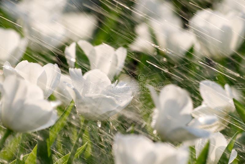Tulipani in pioggia immagine stock