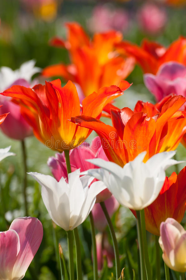 Tulipani in primavera fotografie stock