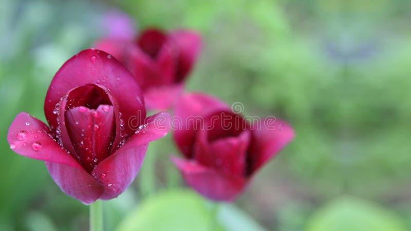 Tulipani rosa del fiore fotografia stock