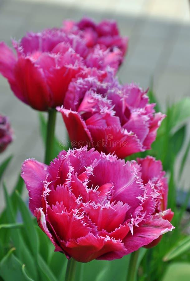 Tulipani rosa del pappagallo fotografia stock libera da diritti