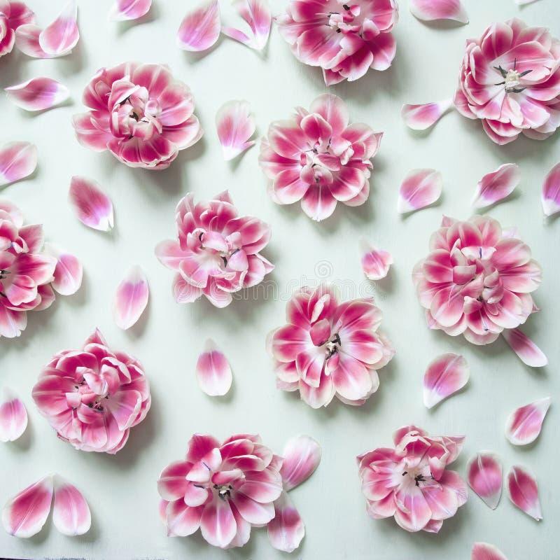 Tulipani rosa di fioritura su fondo verde pastello sparato da sopra immagine stock