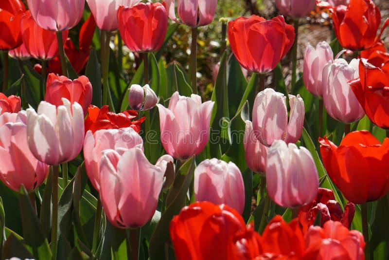 Tulipani rosa e rossi della primavera immagine stock libera da diritti