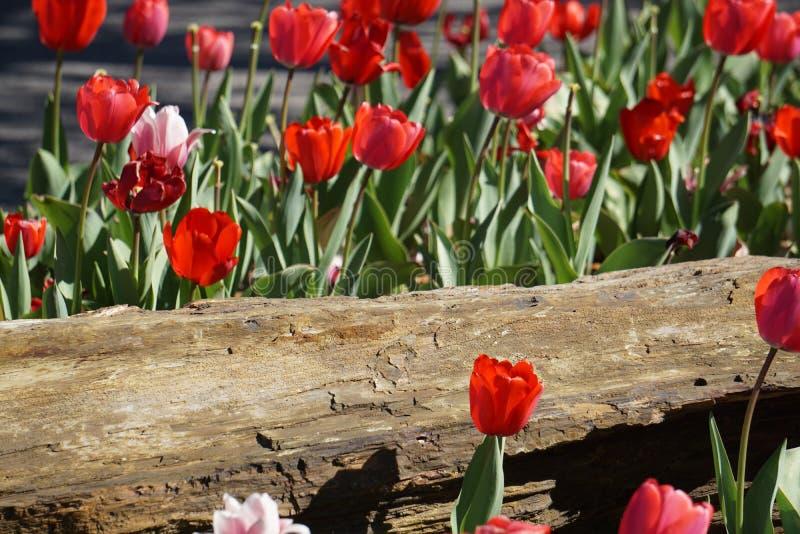 Tulipani rosa e rossi della primavera fotografia stock libera da diritti