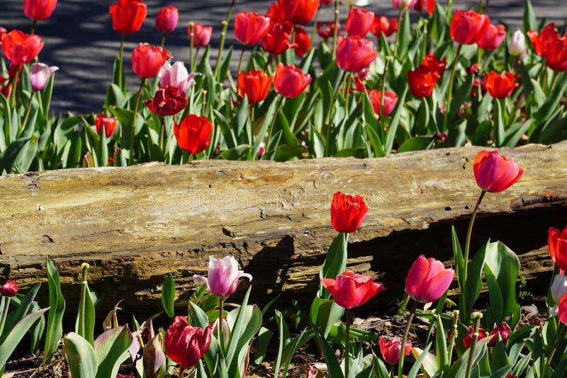 Tulipani rosa e rossi della primavera fotografia stock