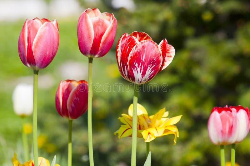 Tulipani rosa e rossi gialli bianchi con i fiori bianchi e gialli immagini stock
