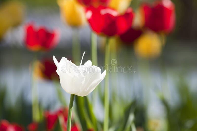 Tulipani rosa e rossi gialli bianchi con i fiori bianchi e gialli immagini stock libere da diritti