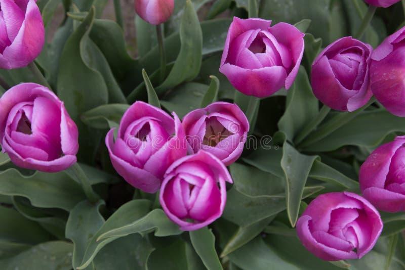 Tulipani rosa-intenso con disposizione bianca veduta da sopra immagini stock libere da diritti
