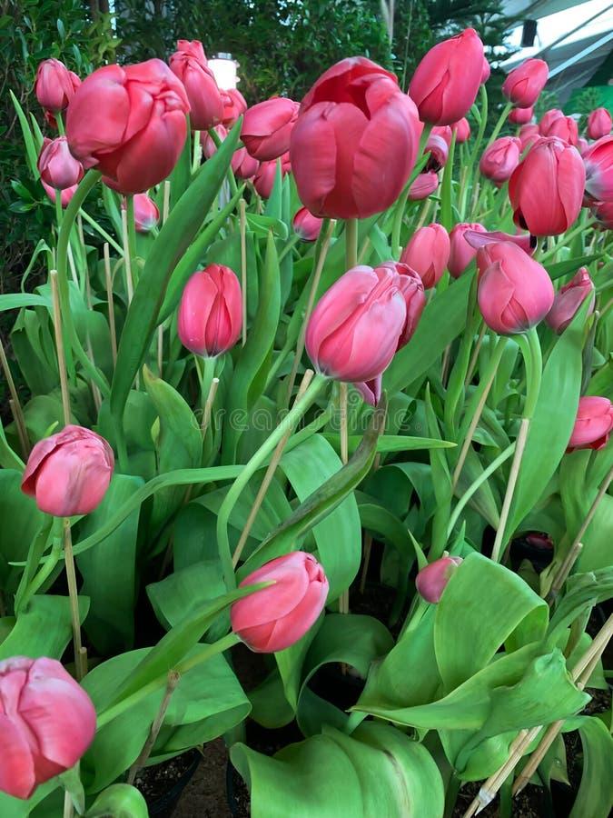 Tulipani rosa nei precedenti del parco fotografia stock