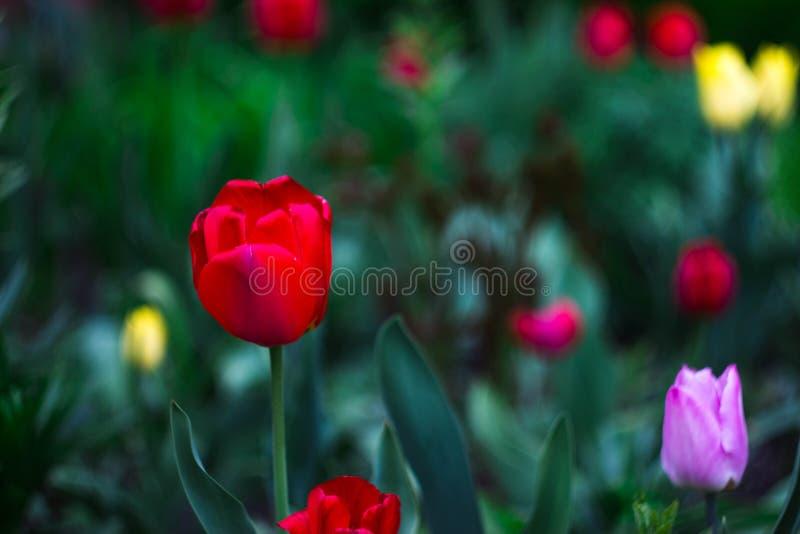 Tulipani rosa nel giardino fotografie stock libere da diritti