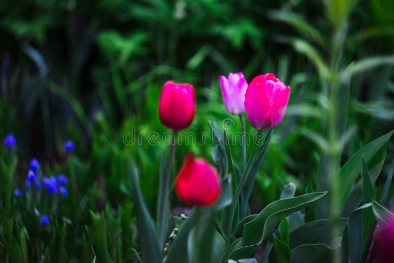 Tulipani rosa nel giardino immagini stock libere da diritti