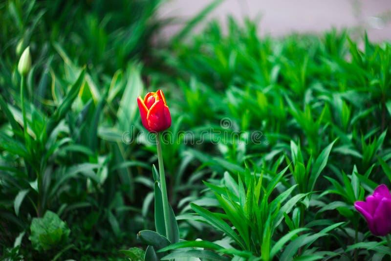 Tulipani rosa nel giardino fotografie stock