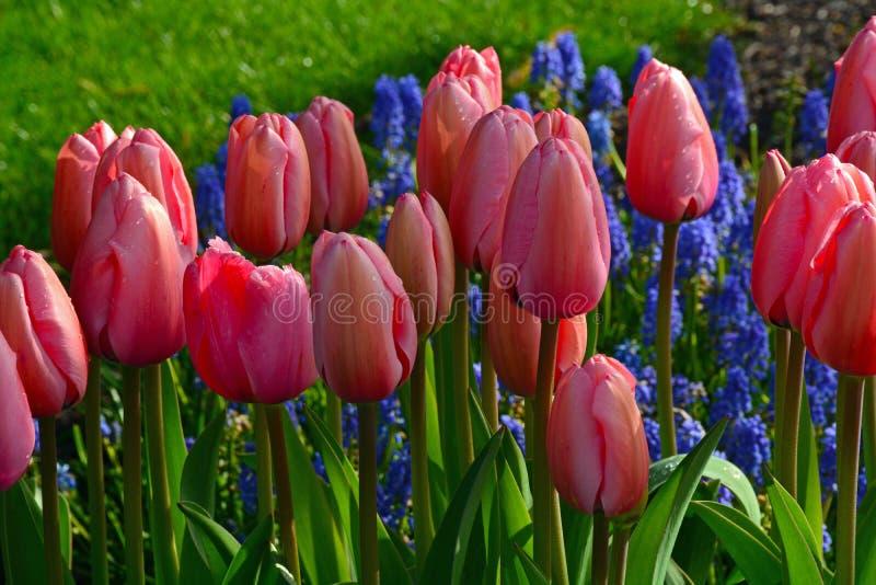 Tulipani rosa soleggiati in primavera immagine stock libera da diritti