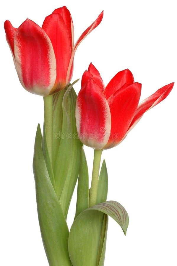 Download Tulipani rossi fotografia stock. Immagine di petali, fine - 216332