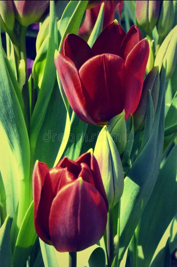 Tulipani rossi immagine stock libera da diritti