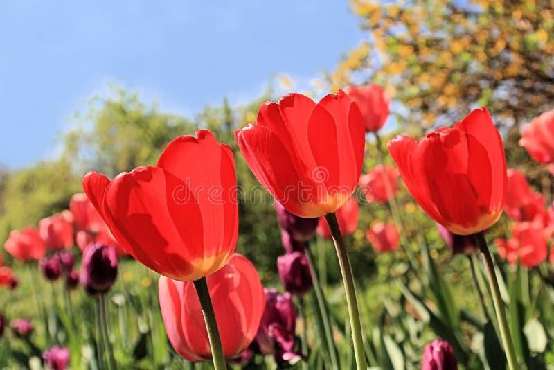 Tulipani rossi al festival di bellezza di molla fotografie stock libere da diritti