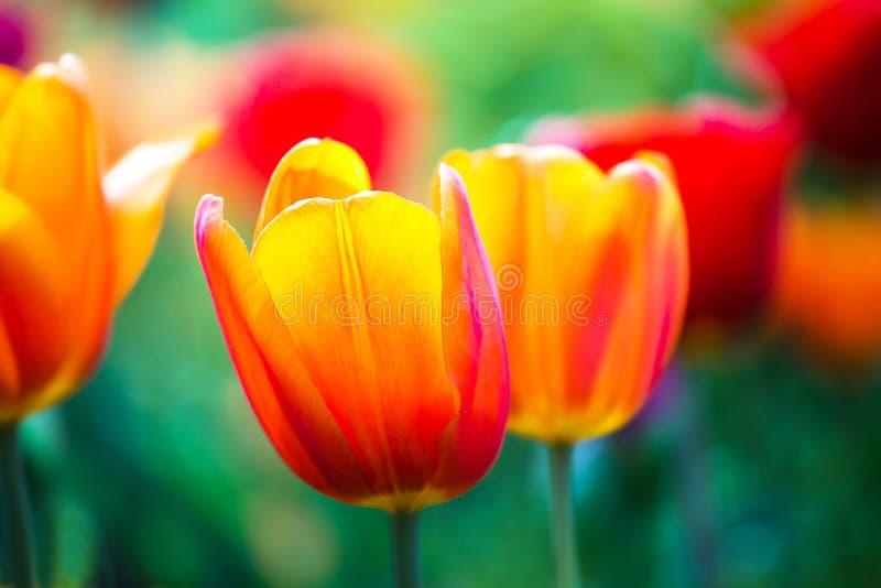 Tulipani rossi arancio variopinti sul campo verde Sfondo naturale con luce solare Bokeh fotografie stock libere da diritti