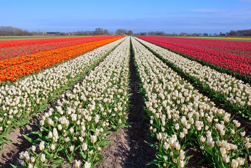 Tulipani rossi bianchi arancio sui campi olandesi for Tulipani arancioni