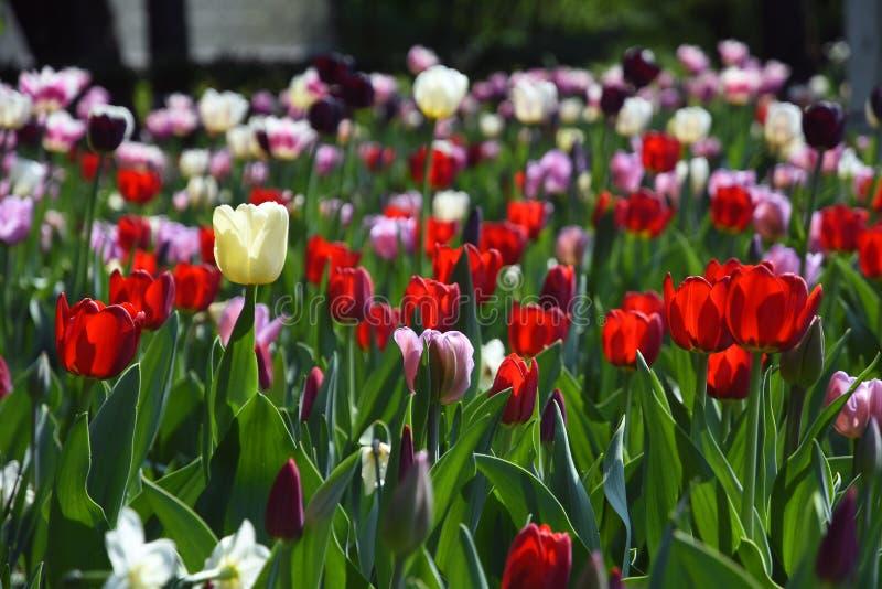Tulipani rossi, bianchi e rosa nel parco di Gorkij a Mosca fotografia stock