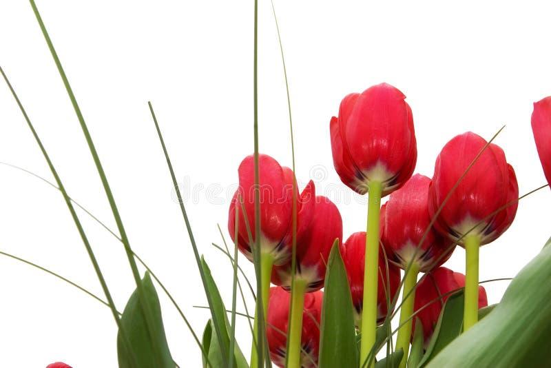 Tulipani rossi da sotto immagini stock libere da diritti
