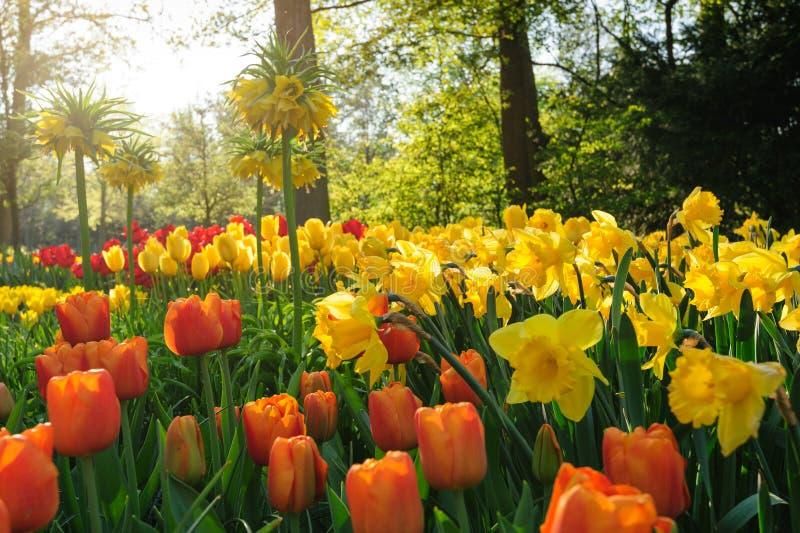 Tulipani rossi dei Paesi Bassi nei raggi del tramonto immagine stock