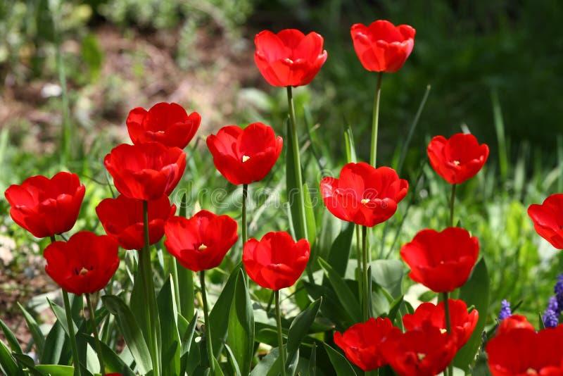Tulipani Tulipani rossi di colori unici su luce solare Fondo della carta da parati del tulipano Il tulipano fiorisce la struttura immagine stock