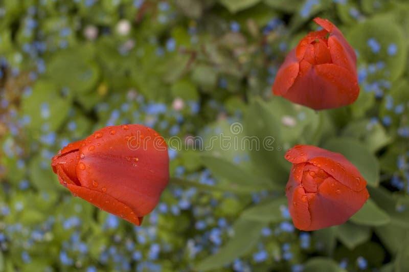 Tulipani rossi dopo pioggia immagine stock